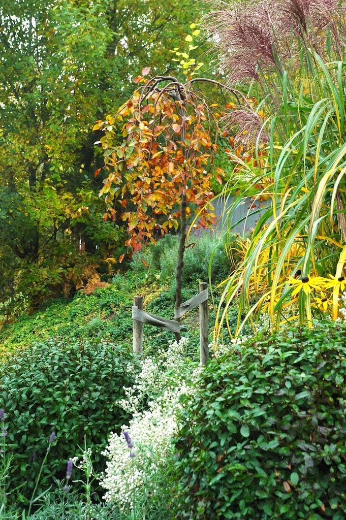 Färgglad höst där ligusterbollar och miskantus säkrar även en vintervacker trädgård