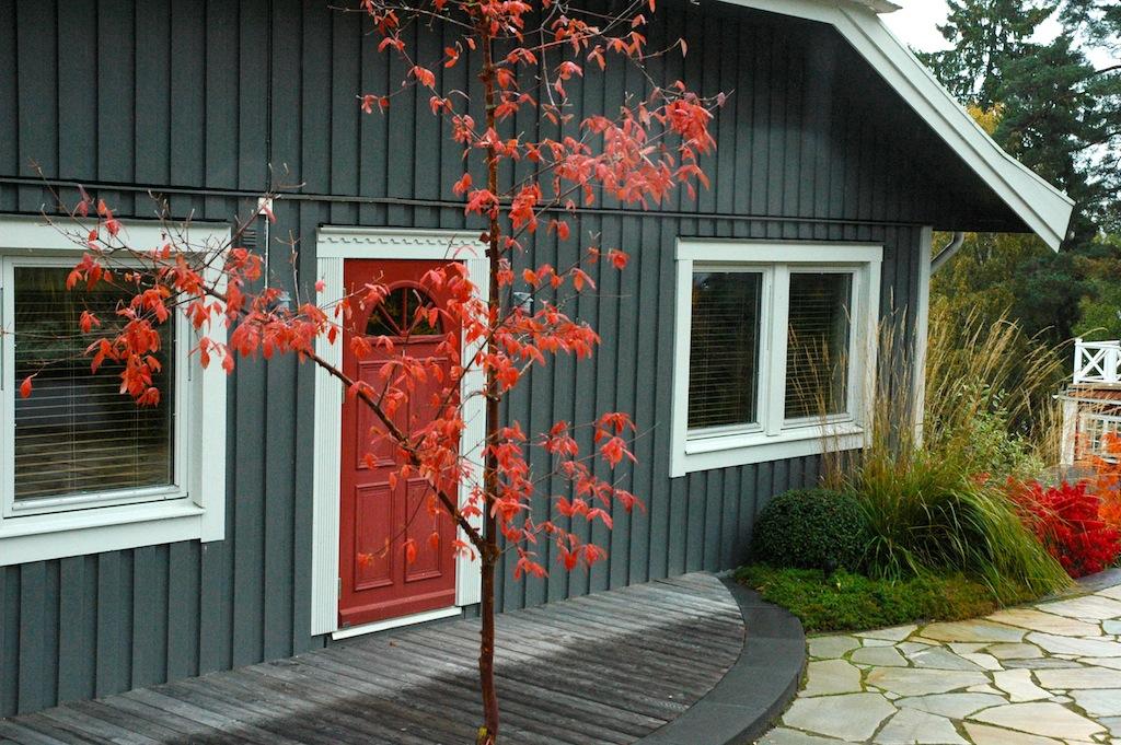 Kopparlönnen matchar den röda dörren och glödande benved