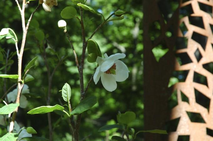 Magnolia sieboldii närbild